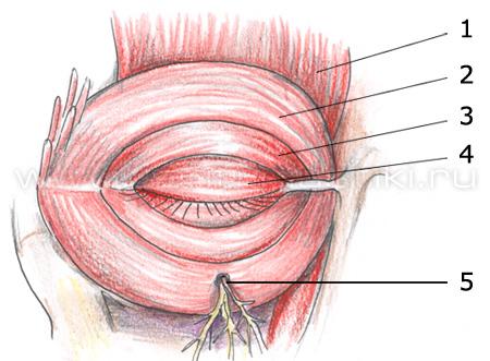Строение мышечного аппарата опускающего верхнее веко.